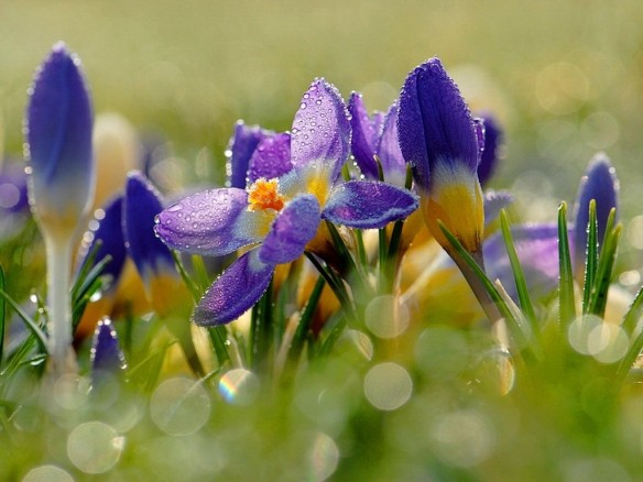 flowers-frost-day-morning-cold-pretty-blooming-lovely-night-spring-sunny-grass-nature-wet-beautiful-freshness-crocuses-dew-flower-wallpapers-download-for-mobile